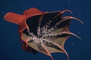 Sởn gai ốc với loài động vật đến từ 'địa ngục' - Mực Ma cà rồng
