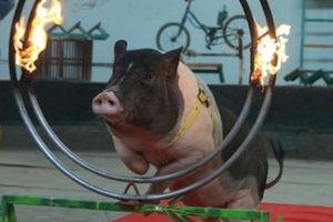 Lợn Móng Cái nhảy qua vòng lửa, sút bóng vào lưới như 'diễn viên'