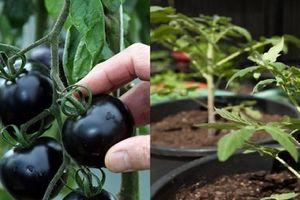 Kỹ thuật trồng cây cà chua đen năng suất vượt trội