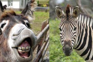 Không mua nổi ngựa vằn, sở thú mang lừa ra vẽ sọc đen trắng lên người để giả mạo