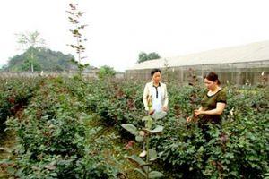 Gái đảm vùng biên trồng 12.000 gốc hồng Pháp, thu 200 triệu đồng/năm