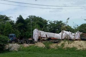 Cây 'khủng' bị tạm giữ ở Quảng Ngãi vẫn… xanh tốt ở Phú Yên