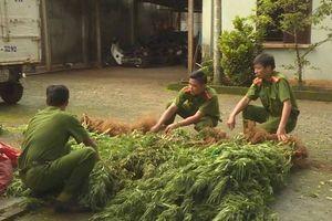 Đắk Lắk: Phát hoảng khi thấy hàng trăm cây cần sa mọc trong rẫy cà phê