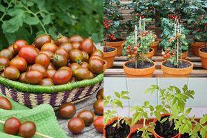 Tha hồ hái cà chua bi mỏi tay không hết nhờ cách trồng cực đơn giản này tại nhà