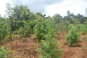 Nhổ bỏ 281 cây cần sa trồng trái phép