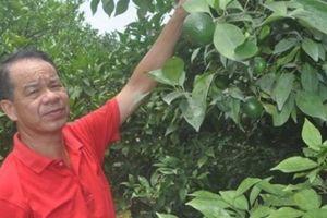 Nghèo loanh quanh, quay ra trồng cam Canh lại thành tỷ phú