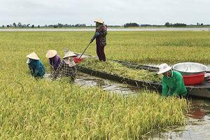 Từ vỡ đập thủy điện ở Lào, nghĩ đến 'thân phận lúa vụ 3'