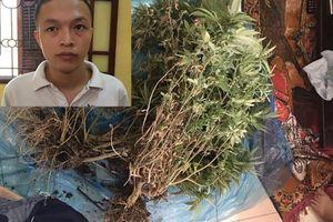 Tạm giữ hình sự đối tượng trồng cần sa trong chung cư Hà Nội