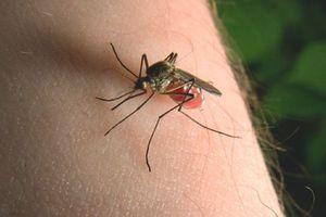 Vì sao bạn bị muỗi chích nhiều?