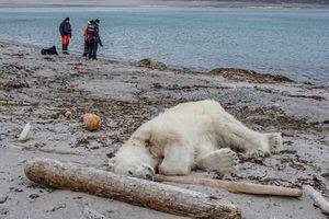Hứng chỉ trích vì bắn chết gấu Bắc Cực