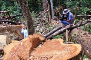 Bình Định: Cận cảnh hàng loạt cây gỗ dổi lâu năm bị đốn hạ không thương tiếc