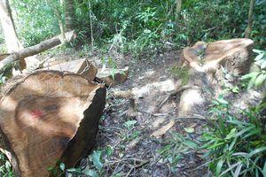 Phát hiện 16 cây gỗ dổi lâu năm bị đốn hạ