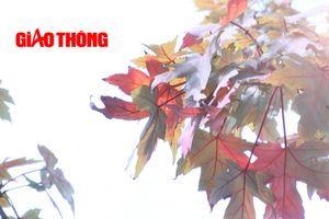 Ngỡ ngàng ngắm hàng cây phong ở Hà Nội chuyển màu vàng đỏ