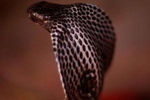 Mỹ: Bị rắn hổ mang cắn, người đàn ông phải dùng tới 28 loại thuốc giải