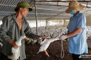 Diễn Châu xuất hiện dịch cúm gia cầm trên đàn vịt 2.460 con