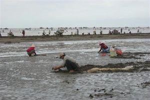 Bãi nghêu trăm tỷ ở Thừa Đức bị xóa sổ - SOS!