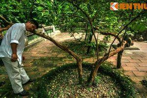 Tận mục 'cây ổi cười' bí ẩn bên mộ vua Lê