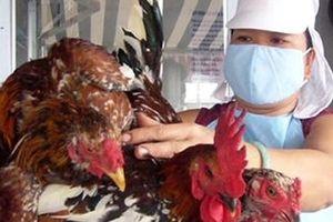 Việt Nam đang nuôi 'siêu gà' cõng được 14 loại phí