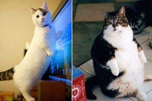 Những chú mèo siêu béo khắp thế giới
