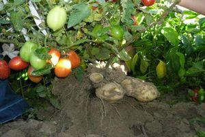 Ngạc nhiên loại cây 'đẻ' ra khoai tây và cà chua