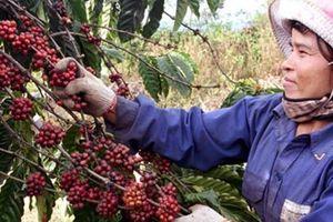 Vì đâu cà phê sụt giảm cả về lượng cũng như giá trị?