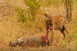 Kinh hoàng cảnh linh cẩu ăn tươi nuốt sống con mồi