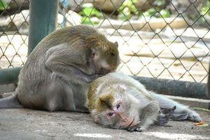 Tình yêu định mệnh của cặp khỉ số khổ
