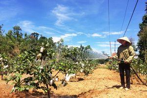 Tự tạo cơ hội: Trồng ổi vùng gò đồi