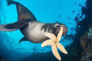 Hải cẩu tinh nghịch đùa giỡn với sao biển