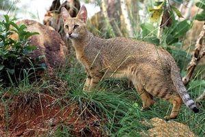 Khám phá loài mèo núi cực quý hiếm của Việt Nam