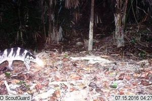 Loài cầy cực hiếm tưởng tuyệt chủng bỗng xuất hiện ở Huế