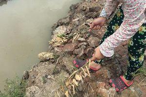 Khởi tố vụ án chặt phá hàng ngàn cây cam sành ở Vĩnh Long