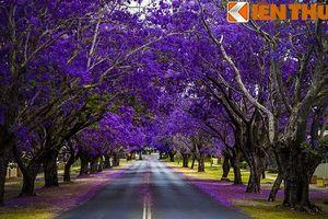 Mê mẩn con đường hoa tím ở xứ sở Kangaroo