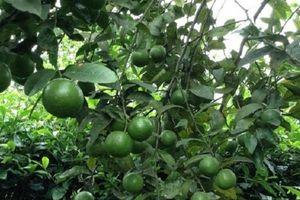 Kỹ thuật trồng cây chanh cho quả sai chĩu cành như ý muốn