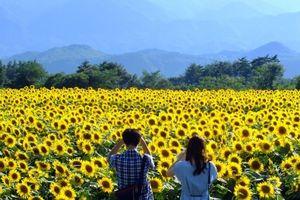 Những cánh đồng hoa gần Hà Nội là điểm đến lý tưởng dịp Tết Dương lịch