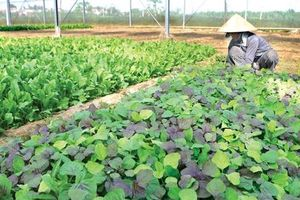 Ngành nông nghiệp khó 'lớn' vì trông chờ thương lái, sản xuất lại manh mún
