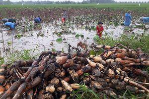 Trồng sen lấy củ trên đất lúa