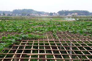 Trồng rau sạch giúp nông dân thu tiền triệu ở Yên Bái