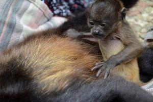 Rơi nước mắt khỉ nhỏ nhất định không chịu rời xác mẹ