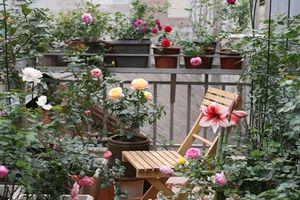 Đã mắt những vườn hoa hồng 'khủng' trên ban công nhà Việt
