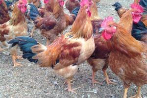 Thương lái lợi dụng dịch cúm ép giá, người nuôi gà mếu dở