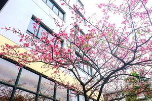 'Khoảng sân thần tiên' rực sắc hoa anh đào Nhật ở Hà Nội
