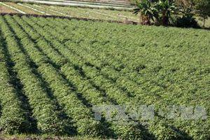 An Giang gieo trồng cây rau, màu có hiệu quả kinh tế cao