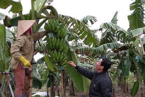 Bệnh vàng lá Panama trên cây chuối và giải pháp phòng ngừa