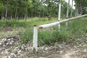 Phú Yên: Kẻ xấu chạt phá cây 'tỷ phú', người dân cắt cử người trông nom vườn 24/24 giờ