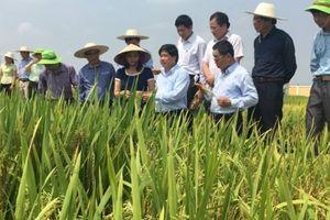 Thaibinh Seed đi đầu trong nghiên cứu, lai tạo giống lúa thích ứng với biến đổi khí hậu