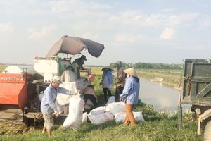Đội nắng thu hoạch lúa