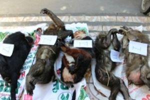 Bắt giữ xe chở năm cá thể voọc, khỉ từ Lào về bán