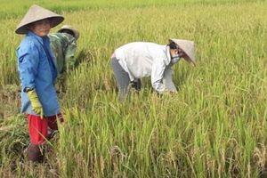Nồi cơm của cả ngàn nông dân Điện Biên có nguy cơ mất trắng