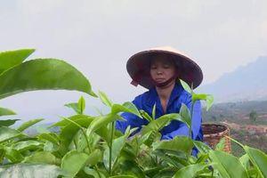 Mở hướng phát triển bền vững từ cây chè Mộc Châu